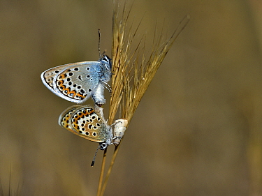 Common blue butterfly (Polyommatus) pair mating on grass, Vendee,France,July