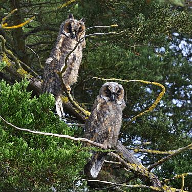 Long-eared owl (Asio otus) on a branch, Vendeen Marsh, Vendee ,France, August. Small repro only