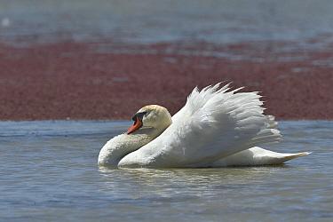 Mute swan (Cygnus olor) Vendee, France, May.