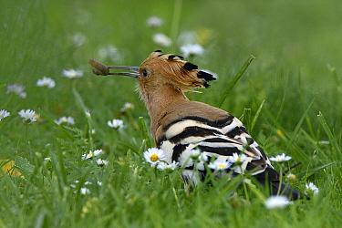 Eurasian hoopoe (Upupa epops) foraging in grass,  Vendee, France, May.