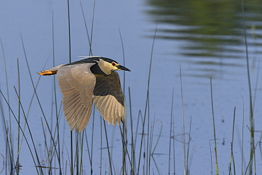 Black-crowned night heron (Nycticorax nycticorax) in flight, Marais de Brenne, France, June.
