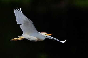 Western cattle egret (Bubulcus ibis) in flight, Marais de Brenne, France, June.