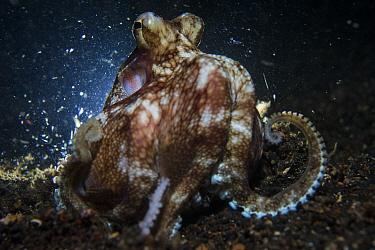 Coconut octopus (Amphioctopus marginatus) crawling along the seafloor during the night, Lembeh Strait, North Sulawesi, Indonesia.