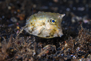 Longhorn cowfish (Lactoria cornuta) juvenile foraging for food along the seafloor during the night, Lembeh Strait, North Sulawesi, Indonesia.