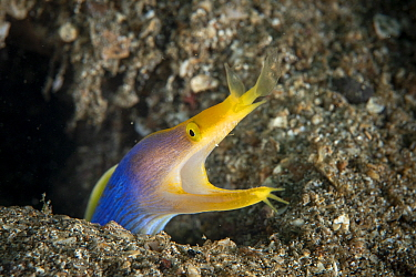 Ribbon eel (Rhinomuraena quaesita) adult male, protudes from crevices in the sandy bottom, Lembeh Strait, North Sulawesi, Indonesia.