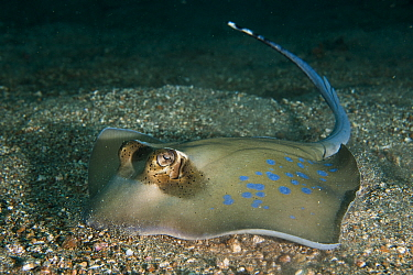 Oriental bluespotted maskray (Neotrygon orientalae), a newly described maskray from the Neotrygon kuhlii species complex prowls on the sandy bottom in search for food, Lembeh Strait, North Sulawesi, I...
