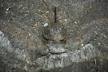 Indo-Pacific horseshoe crabs (Tachypleus gigas) mate in the sandy substrate, Satun province, Thailand.