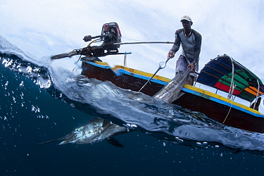 Indo-Pacific sailfish (Istiophorus platypterus) pulled onto a longtail boat with a hook by a fisherman, Satun Province, Thailand