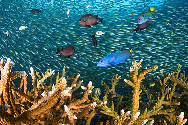 Healthy Staghorn corals (Acropora sp.) with various reef fishes, including Moon wrasses (Thalassoma lunare), and Threespot dascyllus (Dascyllus trimaculatus) and a large school of Bigeye snappers (Lut...