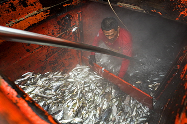 Fisherman scooping up the fish in the fish storage area on a purse seiner, Andaman Sea, Satun province, Thailand, April 2017.