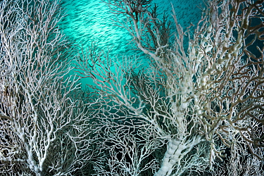 Large colonies of Gorgonian sea fan (Melithea sp.) with an unusual white colouration, not related to coral bleaching. With a school of Bigeye snapper (Lutjanus lutjanus) at Hin Khao, Andaman coast, Sa...