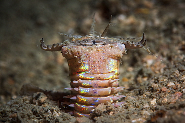Bobbit worm extending its head from its burrow in the sandy seabed, waiting to ambush prey, Satun province, Thailand