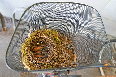 Blackbird chicks (Turdus merula) in their nest in a bicycle basket, Jarfalla, Sweden