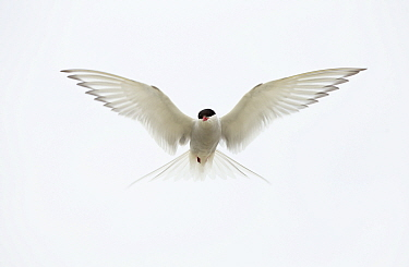 Arctic Tern (Sterna paradisaea) in flight. Shetland Isles, Scotland, UK, June.