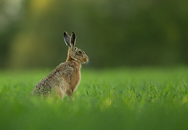 Brown Hare (Lepus europaeus) portrait in grasslands. Leicestershire, UK, May.