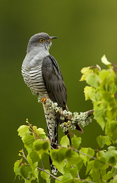 Cuckoo (Cuculus canorus) perched on a branch. Thursley Common, Surrey, UK, May.