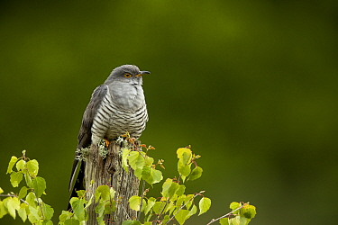 Cuckoo (Cuculus canorus) perched on a post. Thursley Common, Surrey, UK, May.