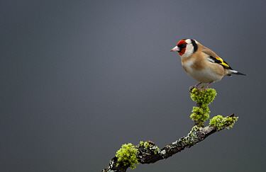 Goldfinch (Carduelis carduelis) perched on a branch, Scotland, UK, January.