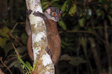 Masoala sportive lemur or Scott's sportive lemur (Lepilemur scottorum) active in forest understory at night (nocturnal species). Masoala Peninsula, north east Madagascar.