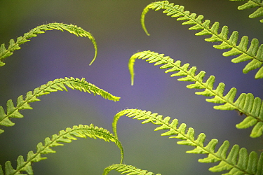 Fern fronds with bluebells in background, deciduous woodland, Dorset, England, UK,May.