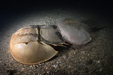 Tri-spine horseshoe crab (Tachypleus tridentatus) pair walking across sea floor at night. Female searching for location to spawn, male clasped onto rear of female to fertilise eggs once deposited. Yam...