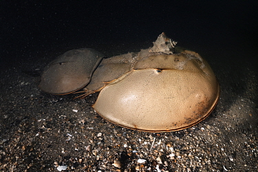 Tri-spine horseshoe crab (Tachypleus tridentatus) pair walking across sea floor at night. Female searching for location to spawn, male clasped onto rear of female to fertilise eggs once deposited. Sna...