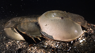 Tri-spine horseshoe crab (Tachypleus tridentatus) pair on sea floor at night. Male clasped onto rear of female, male fertilising eggs female has deposited in substrate. Yamaguchi Prefecture, Honshu, J...