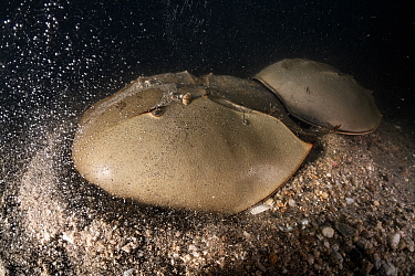 Tri-spine horseshoe crab (Tachypleus tridentatus) pair on sea floor at night. Female digging into substrate before depositing eggs, male clasped onto rear of female to fertilise eggs once deposited. Y...