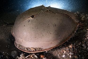 Tri-spine horseshoe crab (Tachypleus tridentatus) male fertilising eggs deposited by female in substrate. Female crab buried on sea floor beneath male. Yamaguchi Prefecture, Honshu, Japan. July.