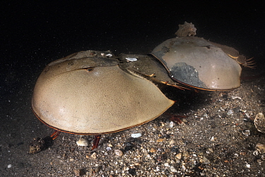 Tri-spine horseshoe crab (Tachypleus tridentatus) pair on sea floor at night. Female searching for location to spawn, male clasped onto rear of female will fertilise eggs once deposited. Yamaguchi Pre...