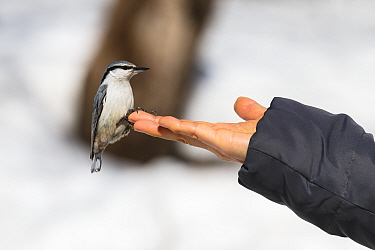 Eurasian nuthatch (Sitta europaea amurensis) perched on hand, tame bird habituated to people. Hokkaido, Japan. March.