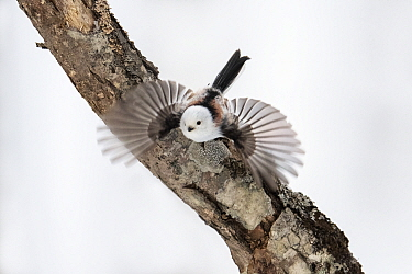 Long-tailed tit (Aegithalos caudatus) taking off from lichen covered branch. Hokkaido, Japan. February.