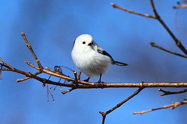 Long-tailed tit (Aegithalos caudatus) perched on branch. Hokkaido, Japan. February.