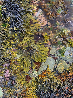 Seaweed including Bladder wrack (Fucus vesiculosus) egg wrack (Ascophyllum nodosum; serrated wrack (Fucus serratus) grows around the edge of a rockpool. Looe, Cornwall, England, United Kingdom. Englis...