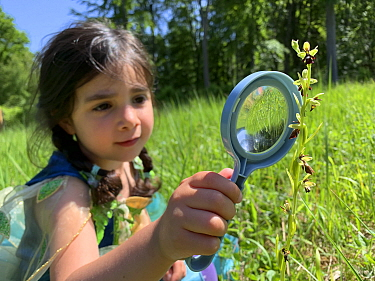 Young girl looks at a fly orchid (Ophrys insectifera) with a magnifying glass. Bedford Purlieus National Nature Reserve, Cambridgeshire, England, United Kingdom. Model Released