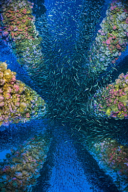 School of Pacific chub mackerel (Scomber japonicus) throng amongst the legs of an oil rig. Eureka Rig, Los Angeles, California, United States of America. North East Pacific Ocean.
