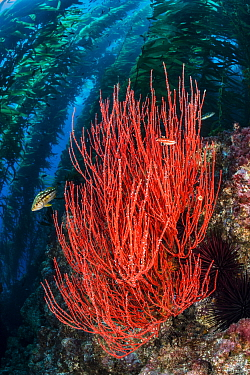 Red gorgonian (Lophogorgia chilensis) grows beneath a forest of Giant kelp (Macrocystis pyrifera), with kelp bass (Paralabrax clathratus). Santa Barbara Island, Channel Islands. Los Angeles, Californi...