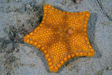 Biscuit seastar (Tosia australis) on a sandy seabed. Blairgowrie, Mornington Penisular, Victoria, Australia. Port Philip Bay, Bass Strait.