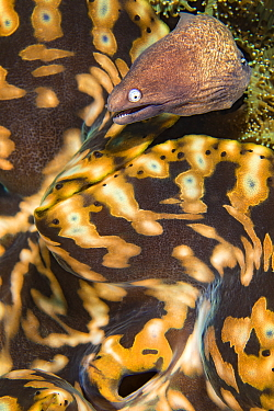 Portrait of a White-eyed moray eel (Siderea thysoidea) next to a giant giant clam (Tridachna sp.) mantle on a coral reef. Tulamben, Bali, Indonesia. Java Sea.
