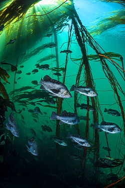 Black rockfish (Sebastes melanops) school shelter in a bull kelp forest (Nereocystis luetkeana). Race Rocks, Victoria, Vancouver Island, British Columbia, Canada. Queen Charlotte Strait, North East Pa...