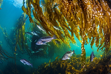 School of black rockfish (Sebastes melanops) shelter in a Bull kelp forest (Nereocystis luetkeana). Browning Pass, Port Hardy, Vancouver Island, British Columbia, Canada. Queen Charlotte Strait, North...