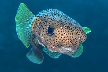 Portrait of Porcupinefish (Diodon hystrix). East End, Grand Cayman, Cayman Islands, British West Indies. Caribbean Sea.