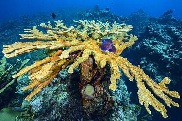 Colony of Elkhorn coral (Acropora palmata) with blue tang (Acanthurus coeruleus) gathered at a cleaning station. East End, Grand Cayman, Cayman Islands, British West Indies. Caribbean Sea.