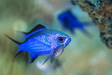 Blue chromis (Chromis cyanea) damselfish with a large parasitic isopod attached below its eye. There is debate about whether these isopods should be considered parasites or merely hitch-hikers. Jardin...