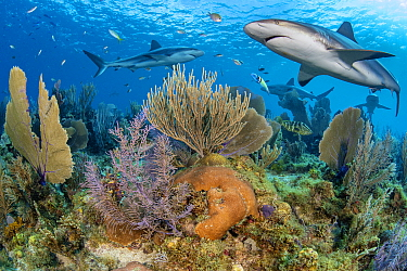 Caribbean reef sharks (Carcharhinus perezi) swim over a coral reef with Common sea fans (Gorgonia ventalina) and Sea plumes (Pseudopterogorgia sp). Jardines de la Reina, Gardens of the Queen National...