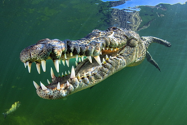 RF - American crocodile (Crocodylus acutus) swims through sunrays. Jardines de la Reina, Gardens of the Queen National Park, Cuba. Caribbean Sea. (This image may be licensed either as rights managed o...