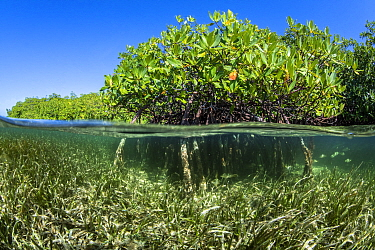 Split level photo of Red mangrove trees (Rhizophora mangle) above a bed of Turtlegrass (Thalassia testudinum). Jardines de la Reina, Gardens of the Queen National Park, Cuba. Caribbean Sea.