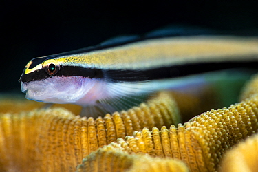 Close up photo of a Cleaning goby (Elacatinus genie) on a coral reef. Jardines de la Reina, Gardens of the Queen National Park, Cuba. Caribbean Sea.