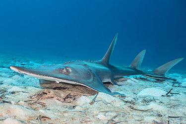 Giant guitarfish (Rhynchobatus djiddensis) rests on the seabed. Laamu Atoll, Maldives. Indian Ocean