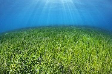 Seagrass meadow (Halodule pinifilia). Seagrass is threatened in the Maldives, where many resorts actively pluck the plants from the water to create a sandy seabed, but generating major problems of ero...